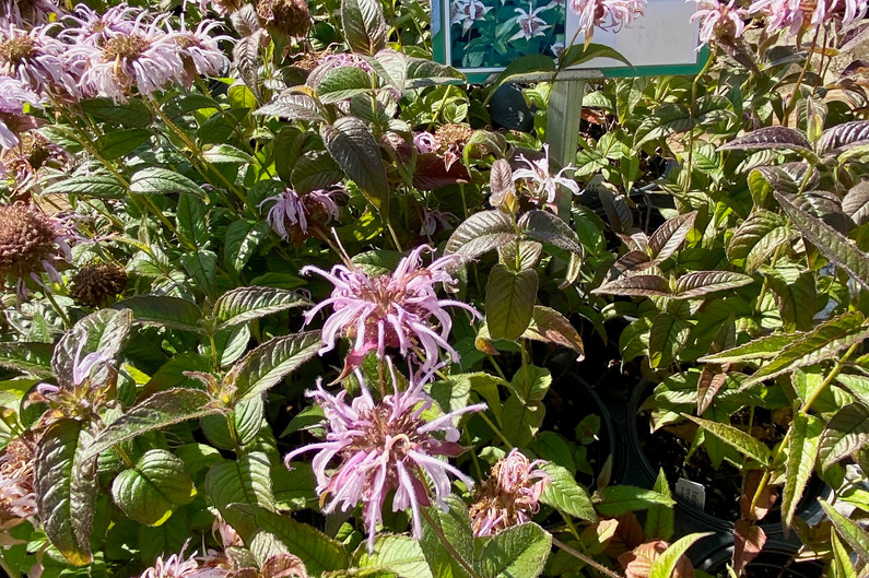 We have 5+ varieties of beautiful Bee Balm for your pollinators!