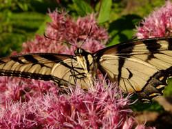 Tiger Swallowtail on Joe Pye.JPG