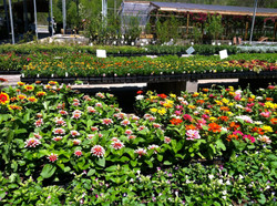 Mixed bedding annuals