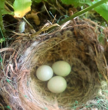 Birds have continually tried to lay eggs in this Boston Fern from Painters.  Who can blame them, we'd want to live in one if we could too!