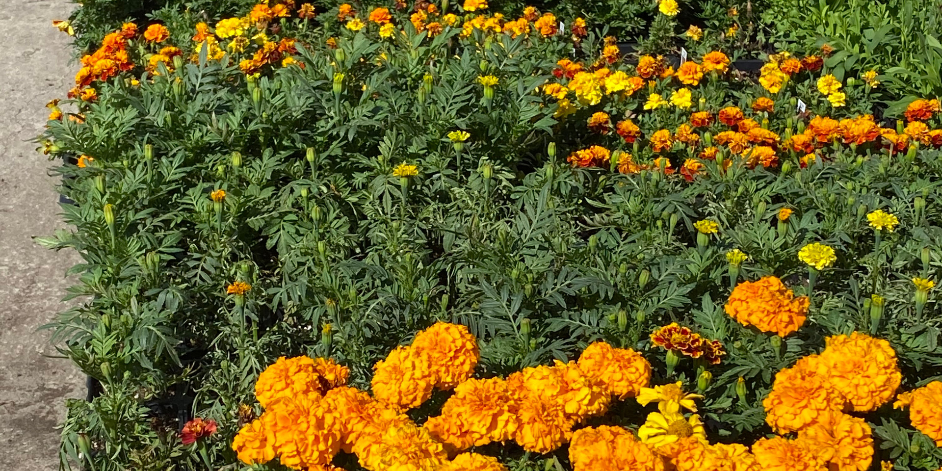 LOTS of marigolds - 5 varieties, single and pompom options!