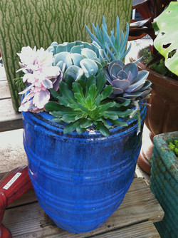 Succulent Blue Pot.JPG