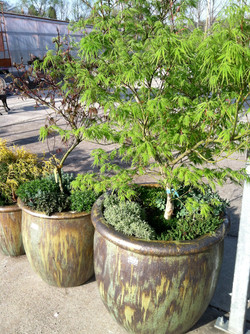 Japanese Maple Pots.JPG