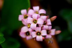 Succulent Bloom2.JPG