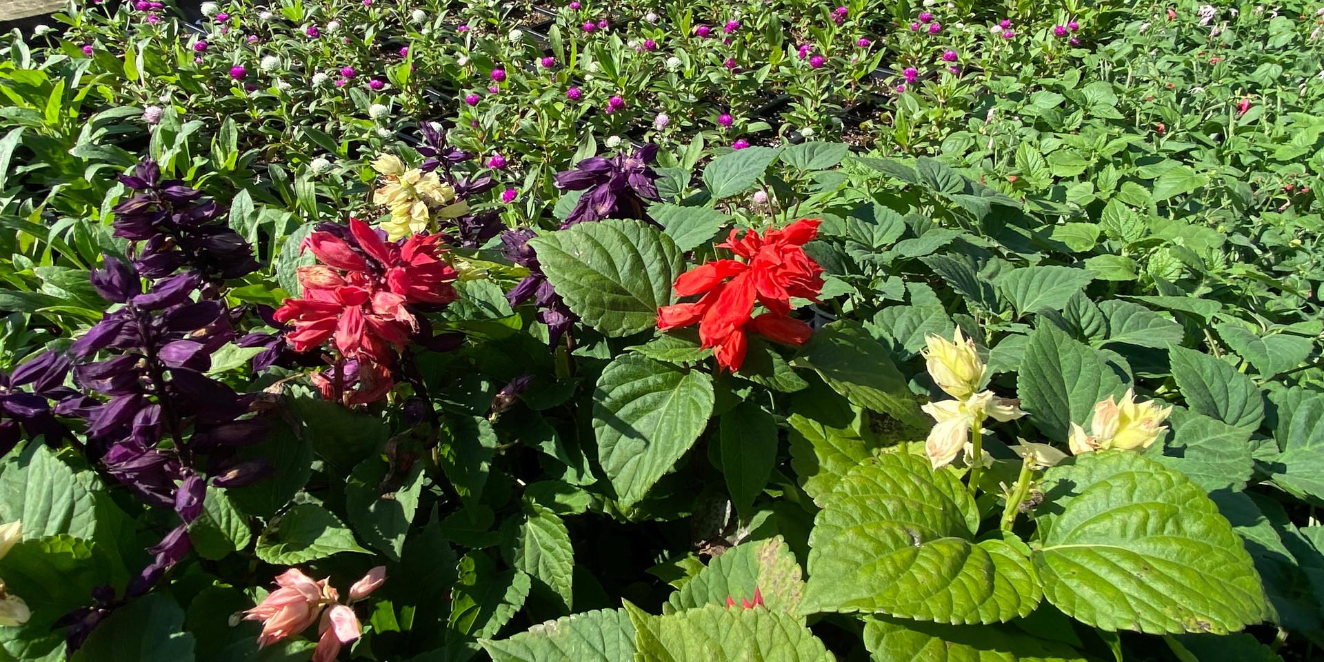 Annual Salvia - such a fun one!