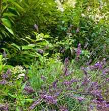 Lavender in Dana's garden at home.