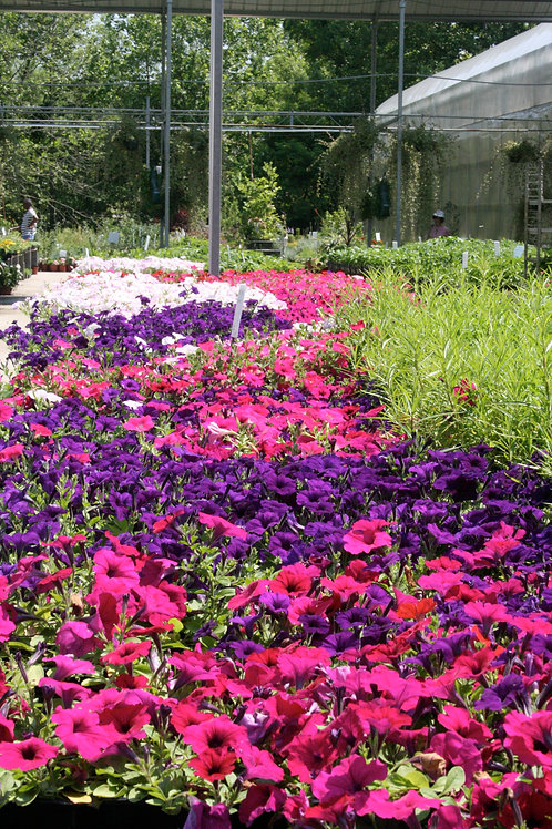 Bedding Petunias