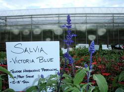 Salvia1.JPG