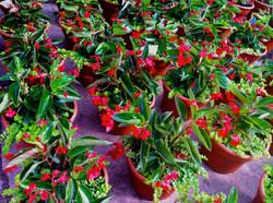 begonia combos