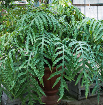 A MASSIVE Blue Star Fern at the greenhouse.