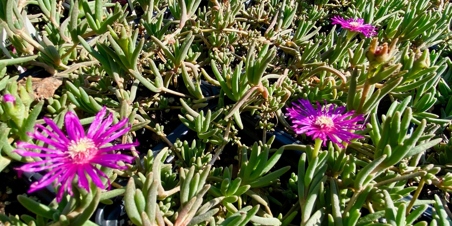 iceplant - several colors/varieties!
