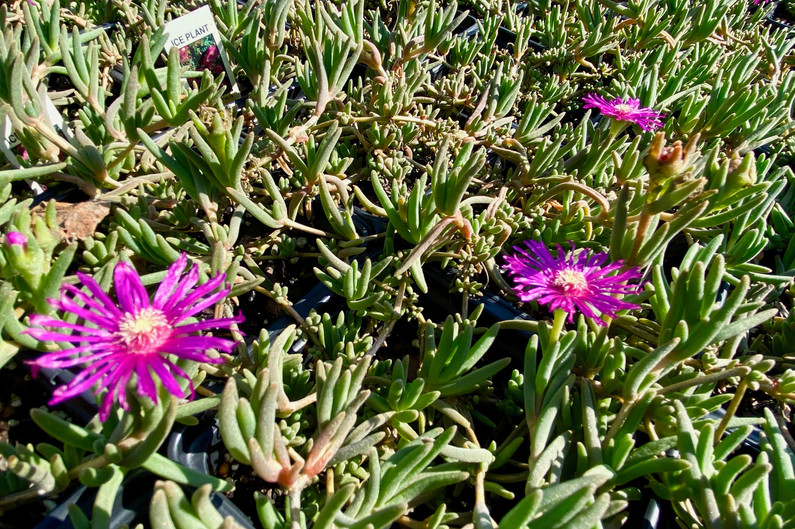 iceplant - several colors/varieties!