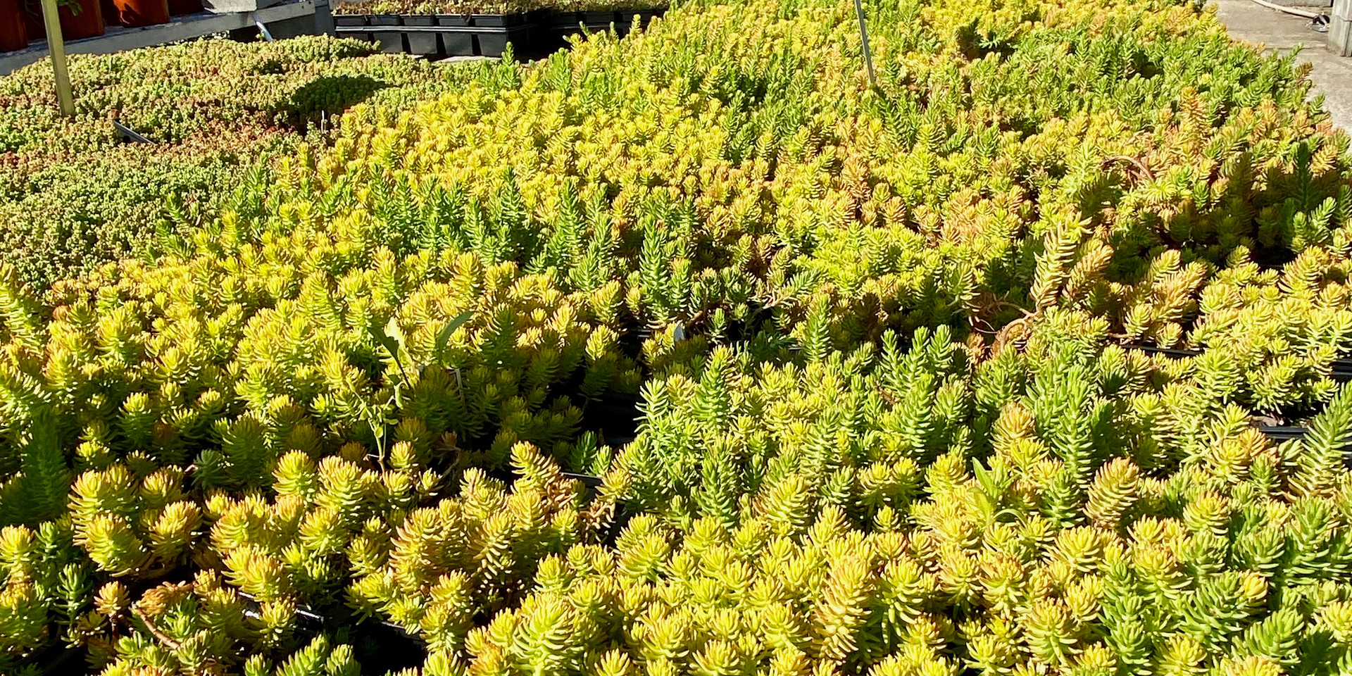 LOTS of sedum - a range of varieties for sunny, dry spots!