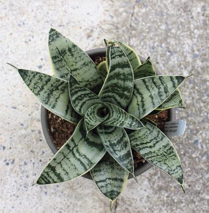 Sansiveria Hahnii 'Silver Star'