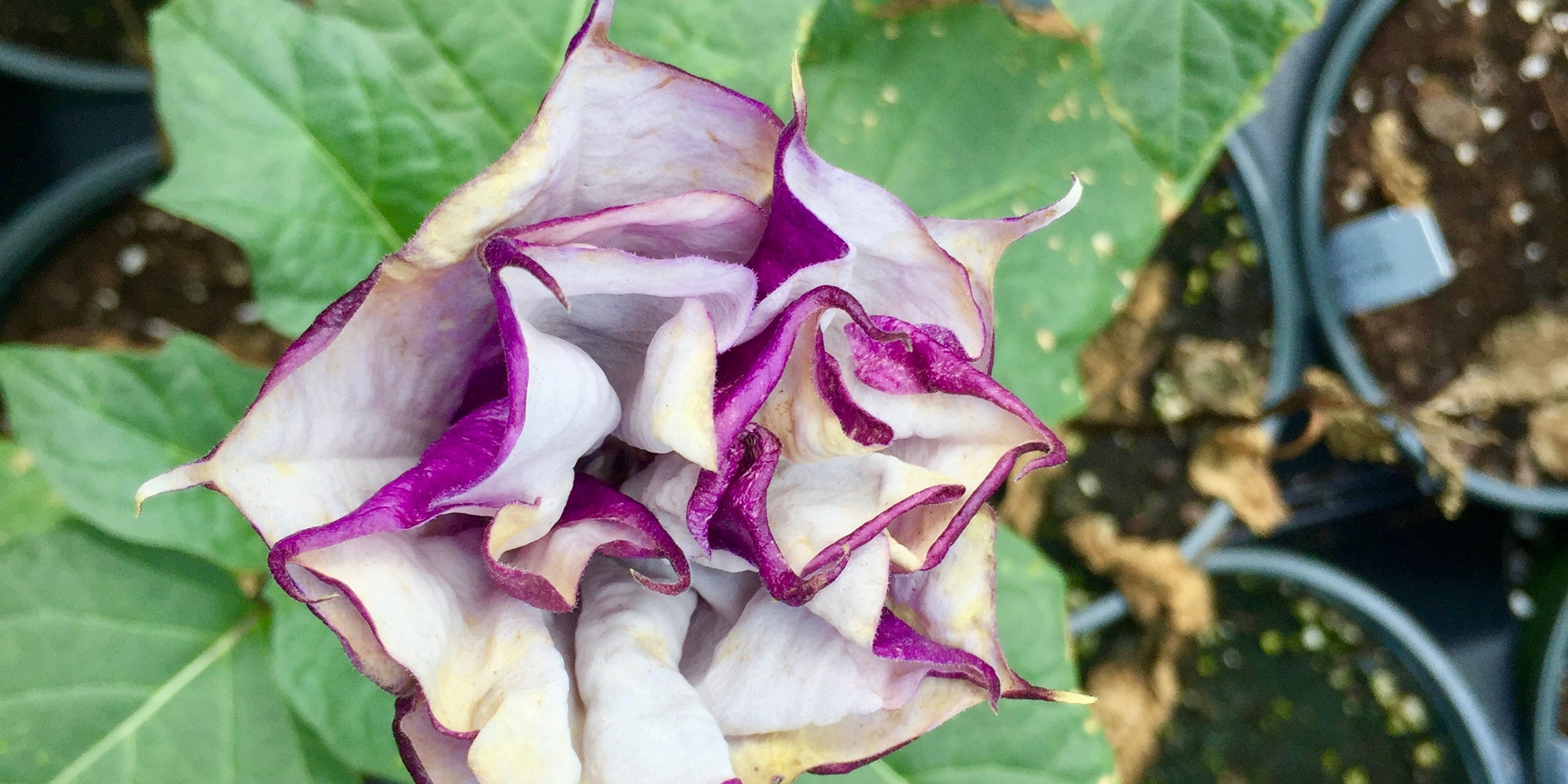 Love this Datura Black Currant Swirl!  (Note, it is toxic if ingested)