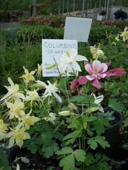 Columbine1.JPG