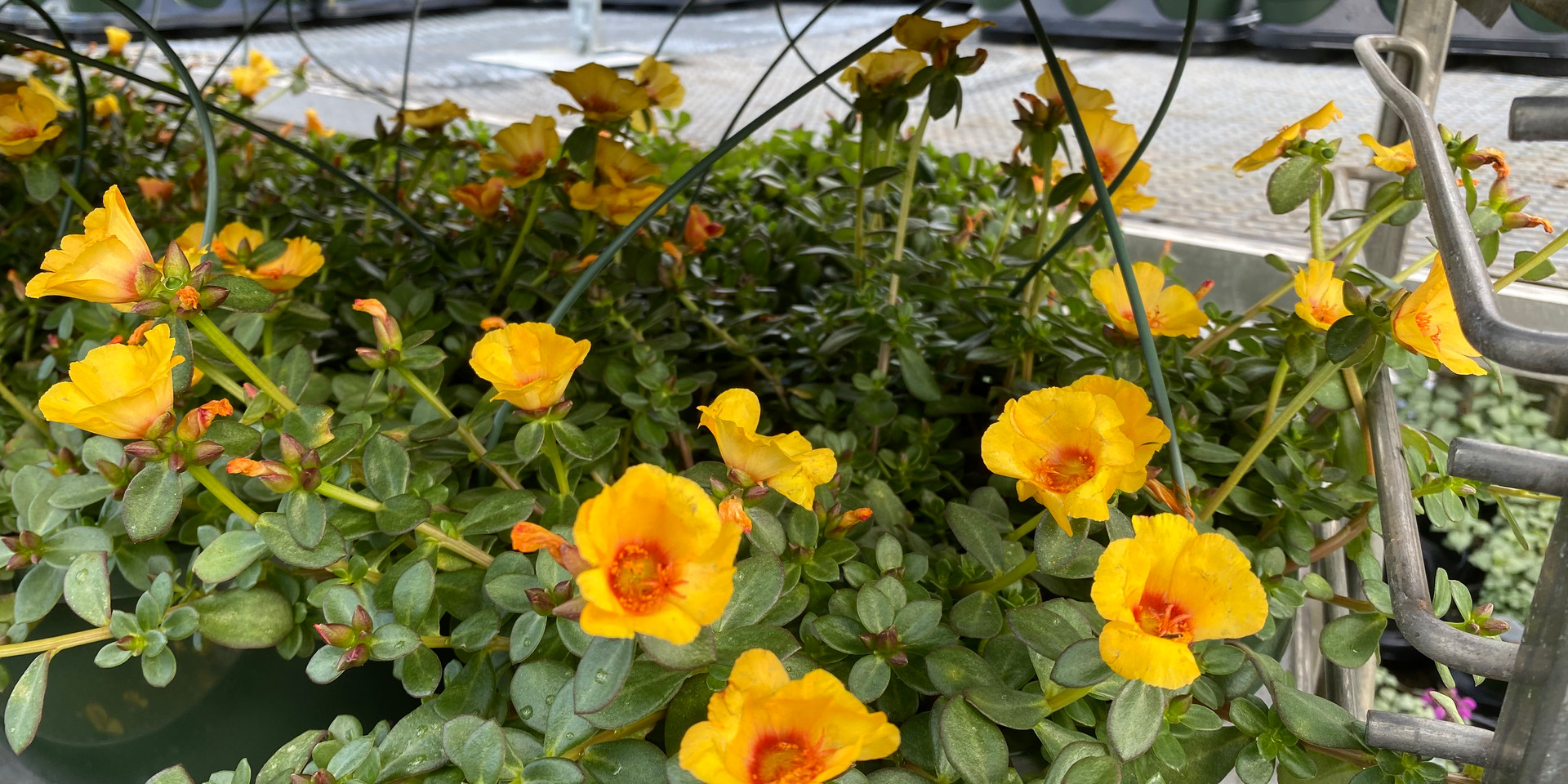 Portulaca in a wide assortment of colors & shapes - full sun, very little water needed - only $8 each!