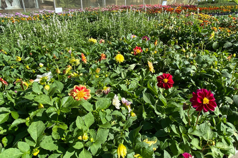 Bedding dahlias - lovely assortments!