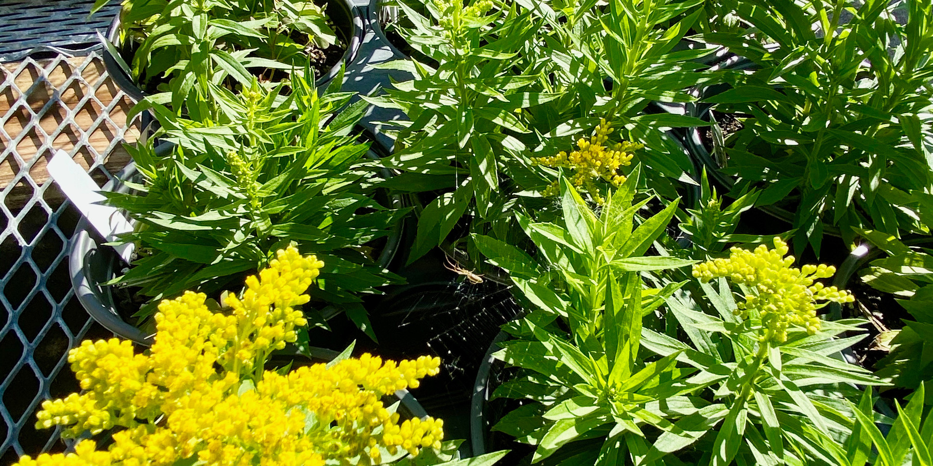 We have several varieties of Goldenrod for your pollinators!