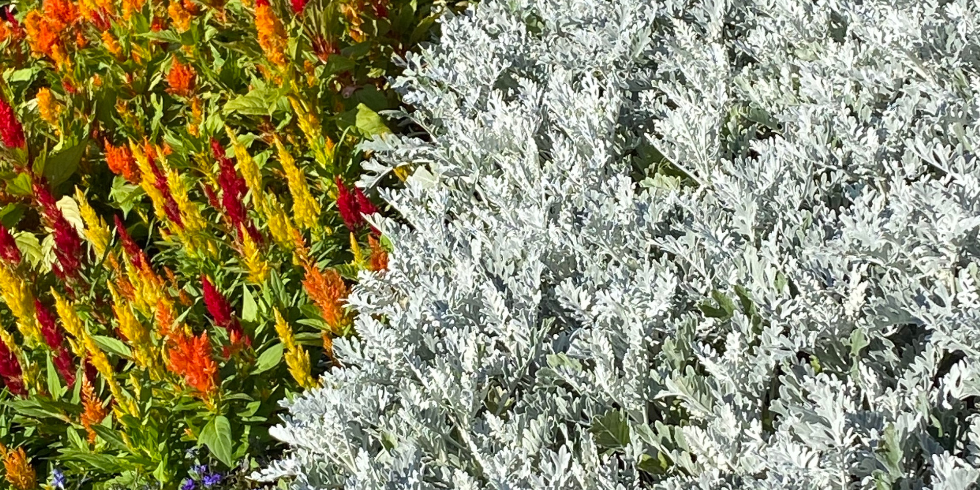 Celosia, Dusty Miller & more