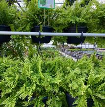 More Petticoat Ferns.