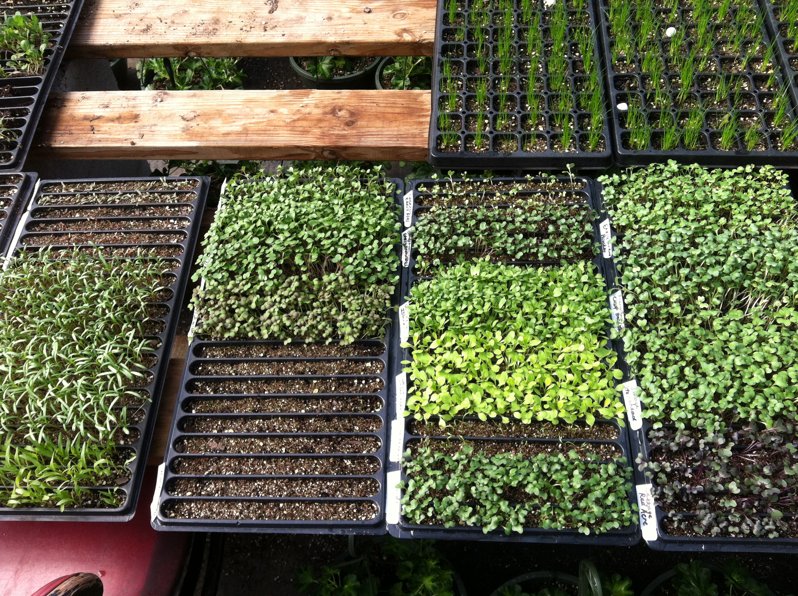 Veggie Seedlings.JPG