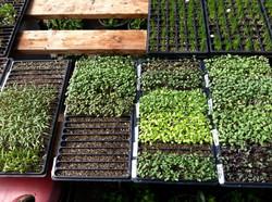 Veggie Seedlings.JPG