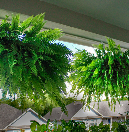 We're famous for our giant Boston Ferns.
