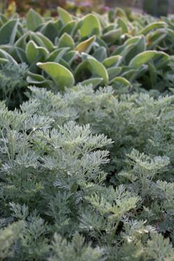 silver foliage.JPG