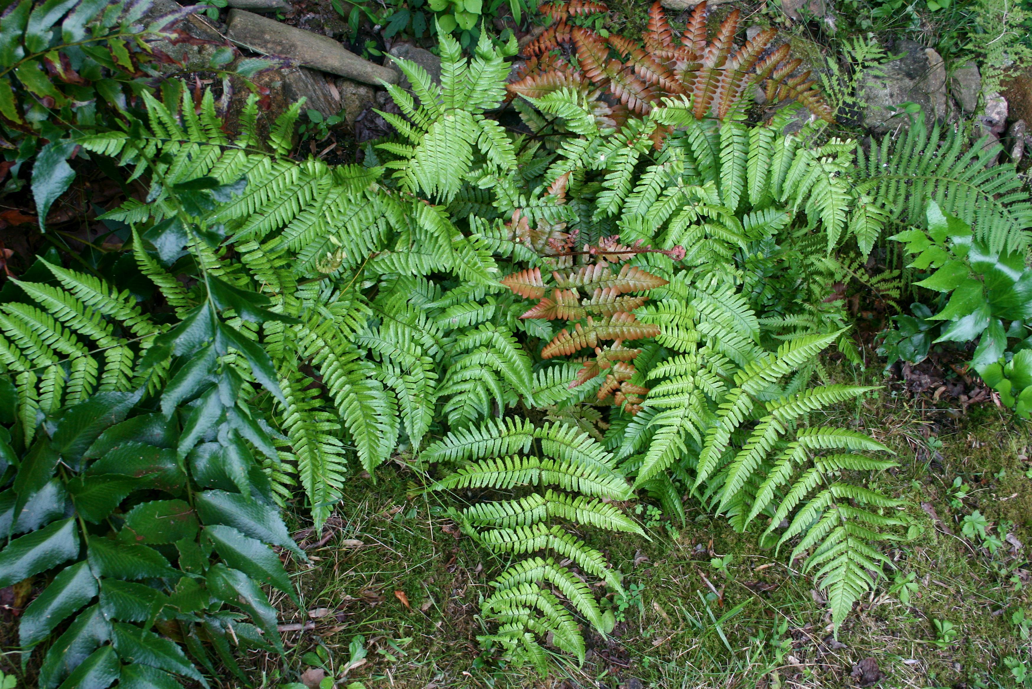 Evergreen Ferns.JPG