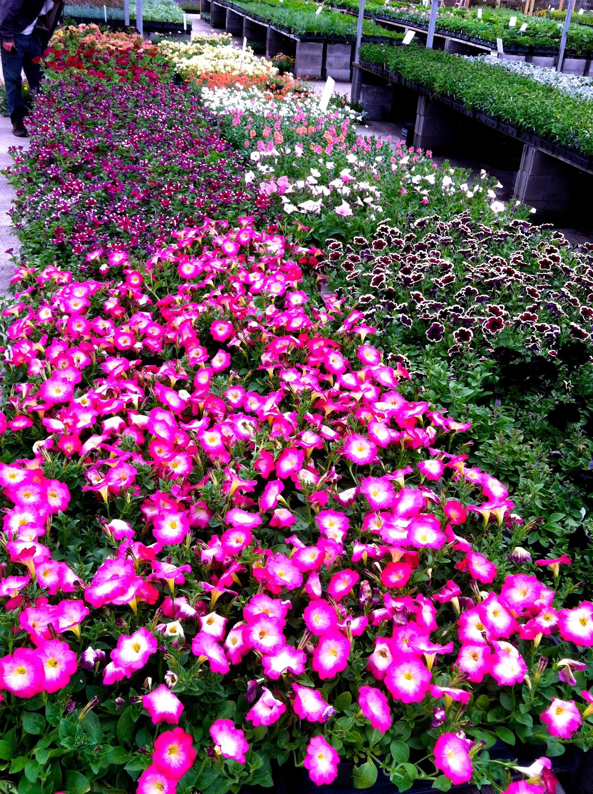 Specialty petunias
