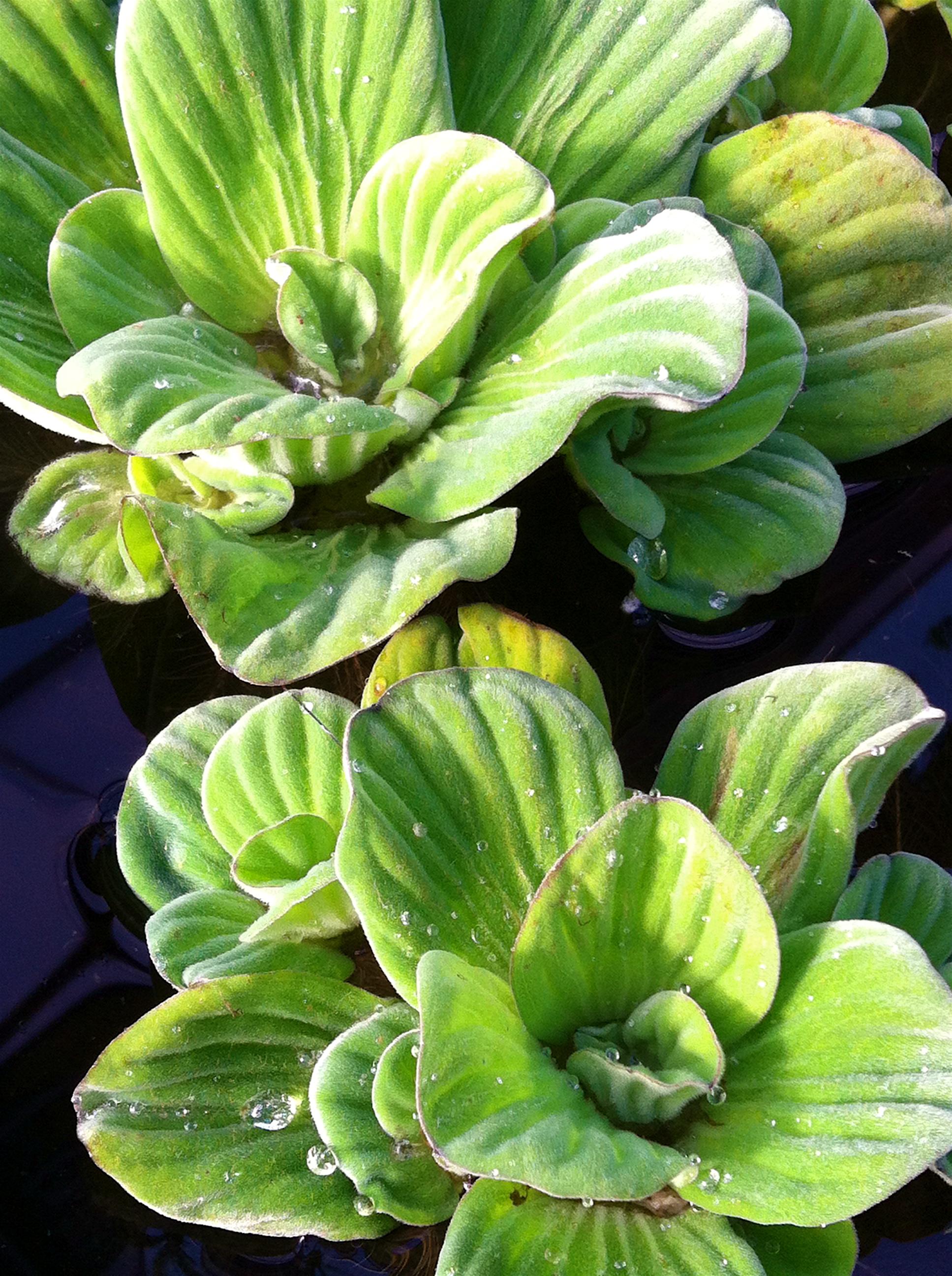 Water Lettuce.JPG