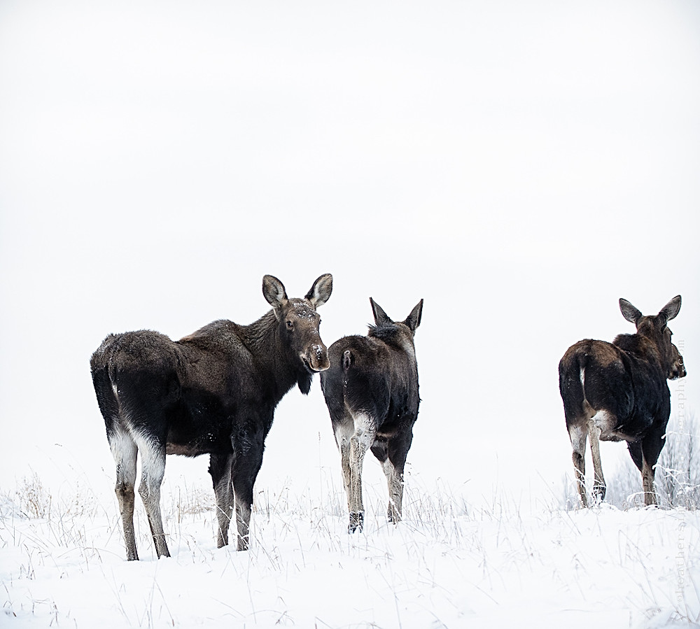 moose, wild, wildlife