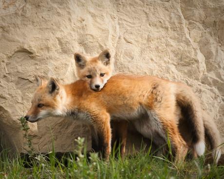 Red Fox Kits.jpg