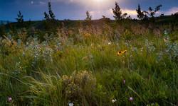 Glenbow Wildflowers