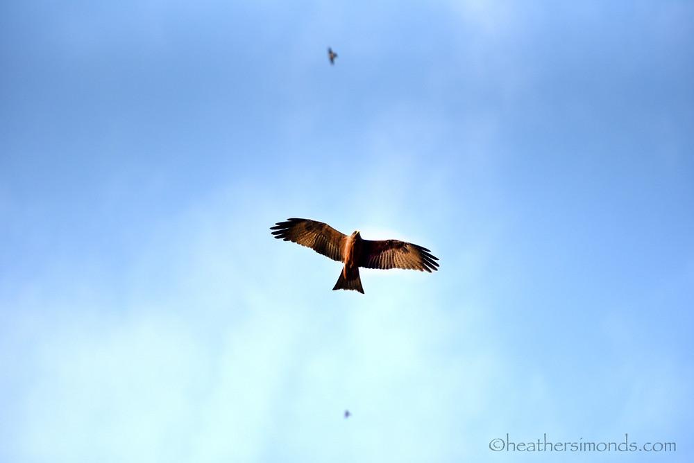 African, hawk, Malawi