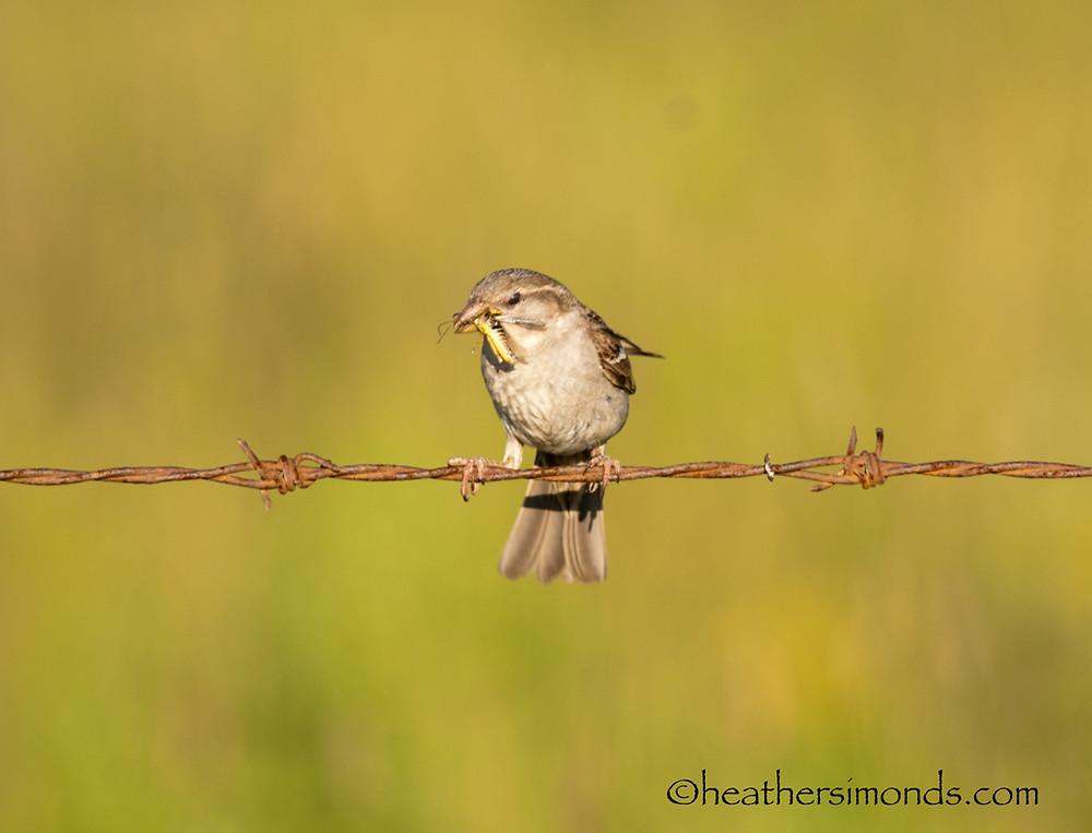 bird, birding, Glenbow, sparrow