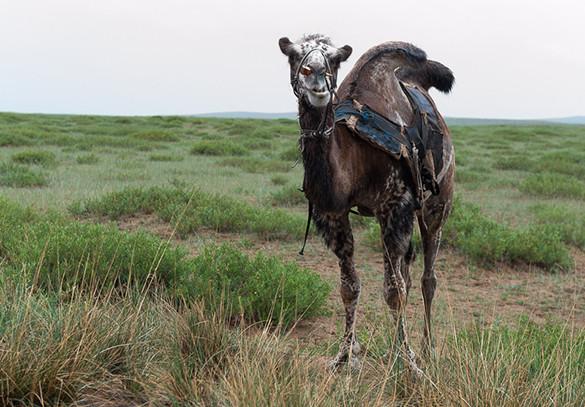 camel, Mongolia, Trans Siberian, Mongolian