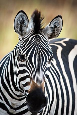 Zebra Tanzania Africa