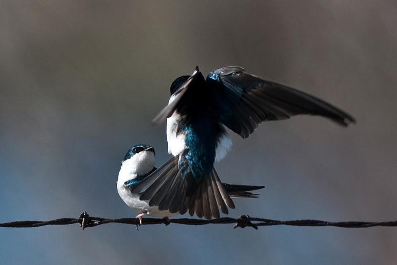 bird, birding, Glenbow, tree swallows