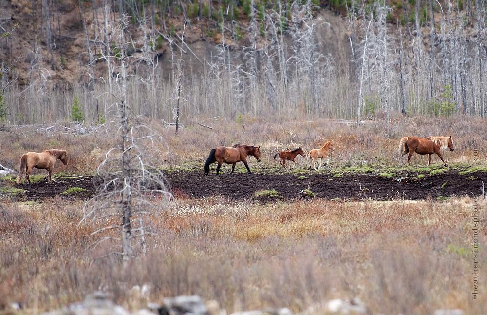 horse, Canadian wild