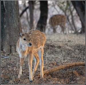 India deer Ranthambore