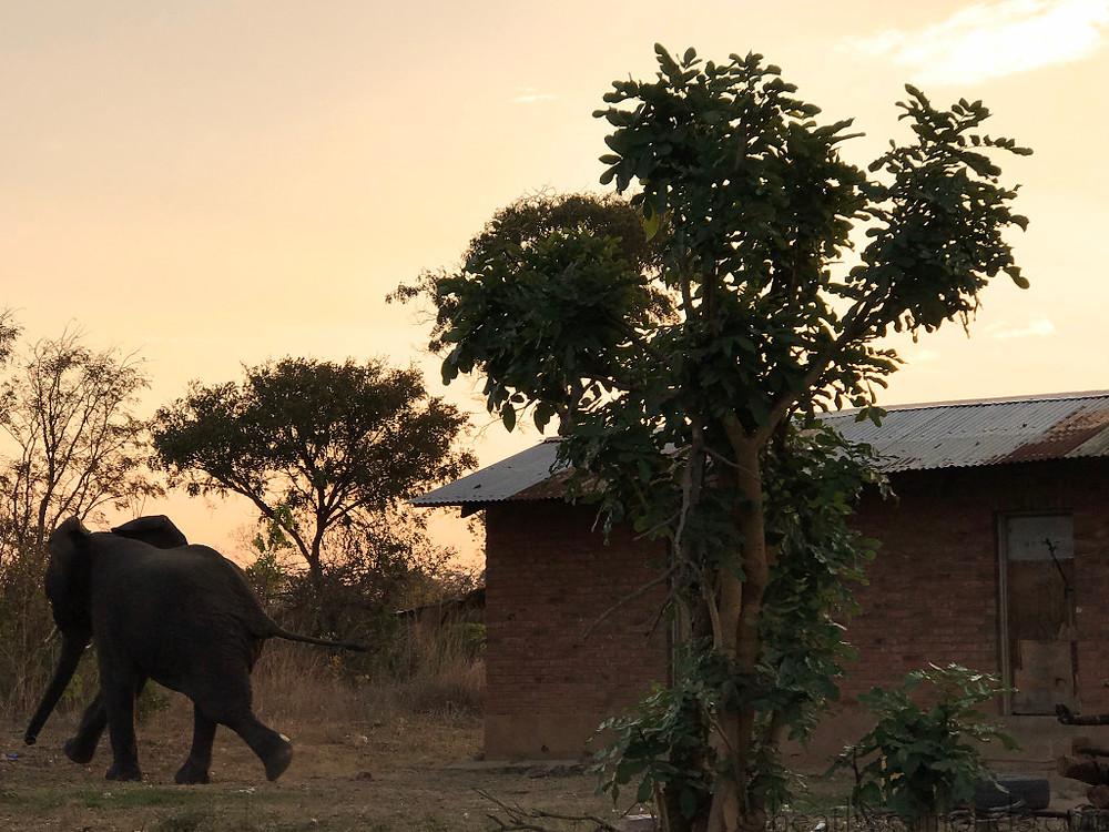 African, elephant, Malawi
