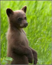 Canadian baby bear cub
