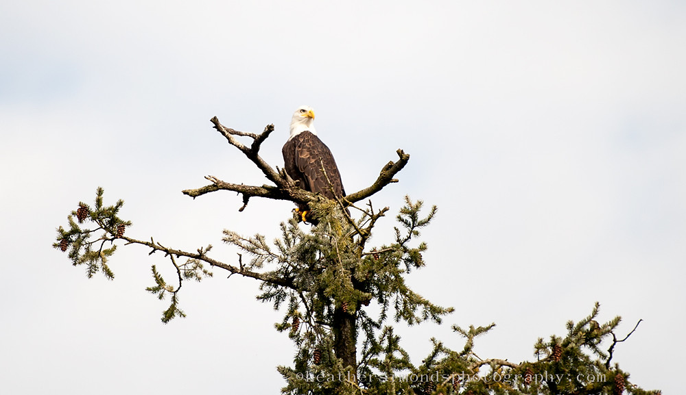 backyard, birds, bald headed eagle