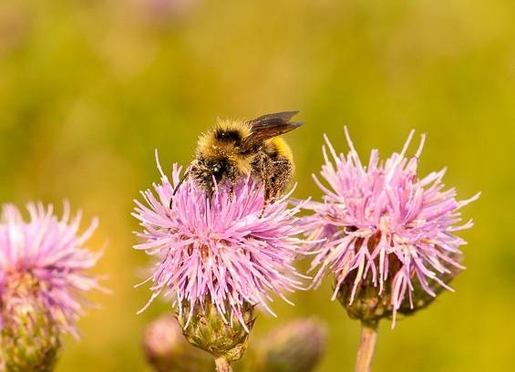 bee, wild, wildlife, Canada