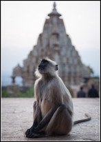 monkey India mammal