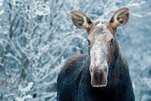 Canadian Moose Winter