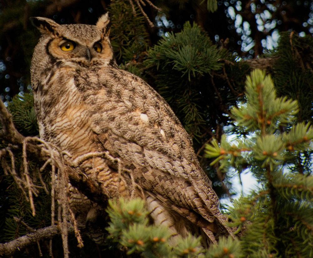bird, birding, Glenbow, Gret horned owl
