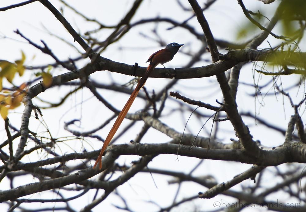 African, flycatcher, Malawi